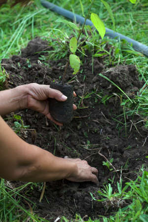planting a tree with soil photo