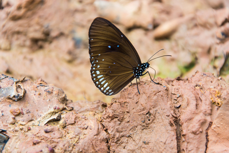 A butterfly is on wet soil. The butterfly is a natural forest. Its like on wet ground to suck the water.. Found in Thailand.