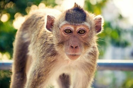 a monkey is on the tree , by it stares at countenance smooth camera still. Locatoin Sam Muk mountain Cholburi ,Thailand Standard-Bild