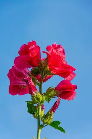 Hibiscus  flower with blue sky background ,which Hibiscus tree is very popular in  Thailand ,Hibiscus flower will bloom like a cup