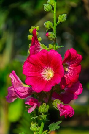 Hibiscus tree is very popular in  Thailand ,Hibiscus flower will bloom like a cup with  a pollen in the middle.