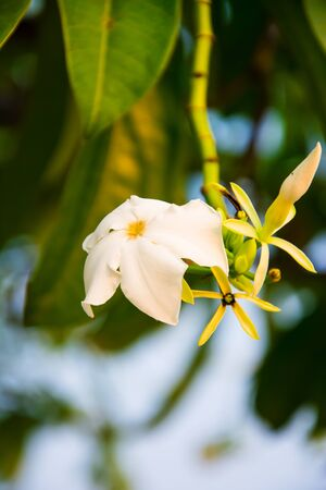 White plumeria  flower  on the  tree  Which  is blooming in the  moorning with  a pleasant  smell. Stock Photo