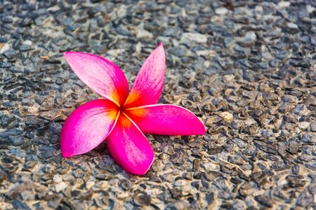 Pink  plumeria  flowers  fall on the  concrete  floor. Stock Photo
