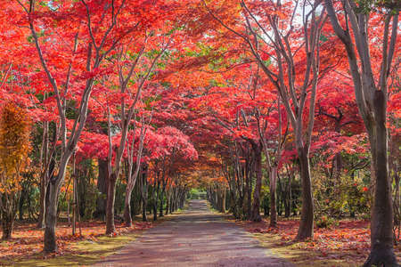 This photo was shot from Hiraoka Tree Art Center in Sapporo, Hokkaido, Japan. All trees change color from green to red in autumn before coming winter. This place is one of popular for tourist attraction in Sapporo.