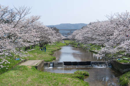 Somei Yoshino cherry trees line the 2 km Tamayugawa River bank which flows through Tamatsukuri hot spring resort. In the evening the trees are lit up and the night view is another charm. Visitors can enjoy both a hot spring and blossoms.