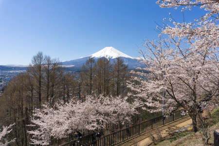 Northern Shores of Kawaguchiko where cherry trees are planted for 1.2km along the lake and Chureito Pagoda are the most scenic views can be captured cherry blossoms and Mt.Fuji.