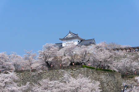 Tsuyama Castle was built about 400 years ago. It has been selected as one of Japan's top 100 castles and has earned a spot as one of Japan's top 100 cherry blossom sites. The Tsuyama Cherry Blossom  gives visitors the chance to experience the park's 1,000 trees.