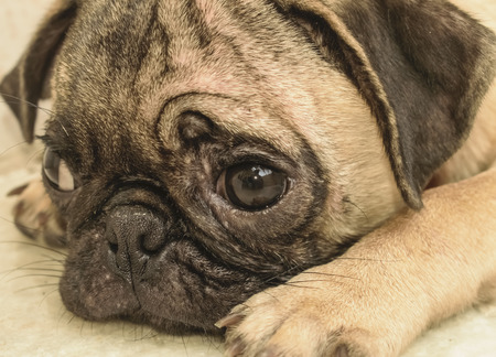 face close up: sad alone pug dog face close up