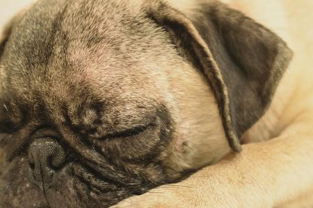 face close up: sleeping pug dog face close up