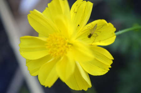 Yellow Cosmos Flower with Yellow Spider