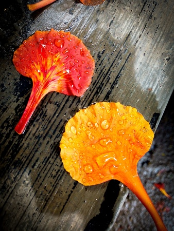 two flower petals, one red orange and other of yellow orange color of flame tree or Gulmohar or Delonix regina flower with rain water droplets on them placed diagonally on wet watery grey surface