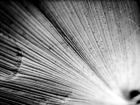 Black and white macro image of leaf with textured straight lines 写真素材