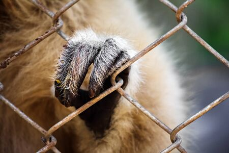 Close up of hand of gibbon perching cage