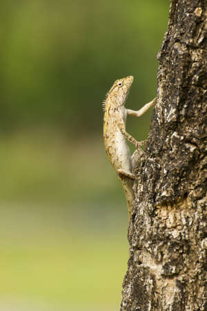 Iguana with a crooked expression on the Tree photo