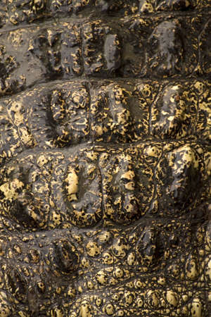 crocodile skin texture background Stock Photo - 13114034