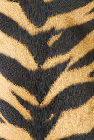 texture of real tiger skin   fur Stock Photo - 13327426