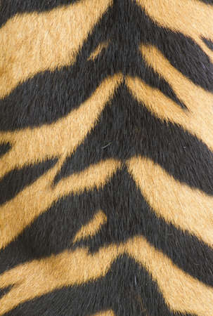 texture of real tiger skin   fur    photo