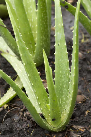 Aloe vera a plantation of herbs photo
