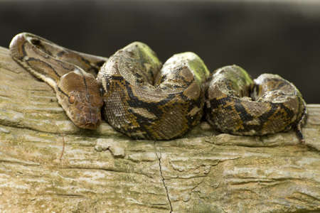 pythons: Python curled up sleeping on a tree