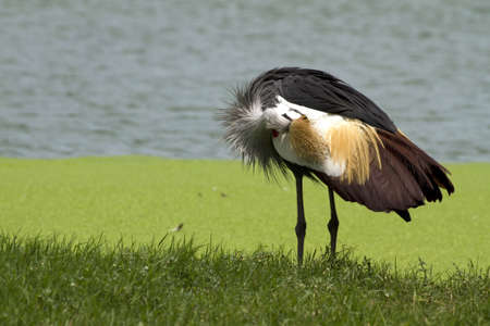 East African Crowned Crane  photo