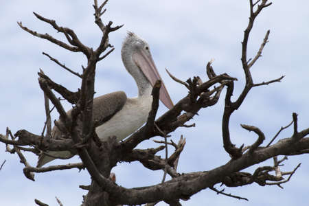 Brown pelican on Gulf of Mexico  photo