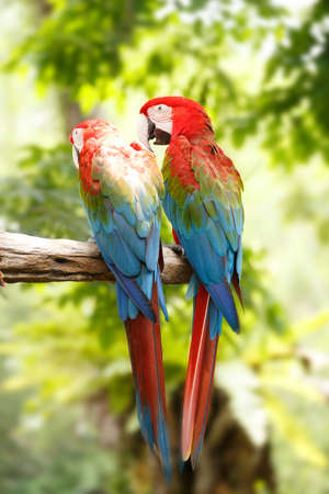 mccaw: parrots macaw in the rainforest