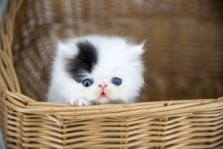 Persian cat in basket Stockfoto