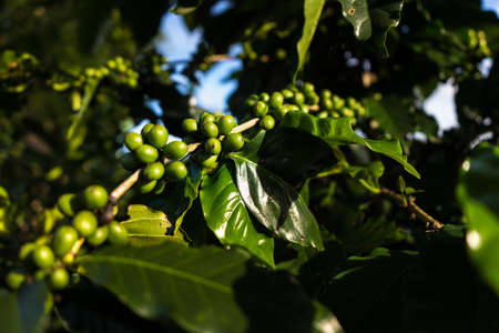 Immature green coffee cherries ont he branch which are the source of coffee beans