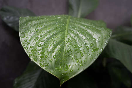 Beautiful Macro photo with water drops. Artistic Background for desktop. 版權商用圖片