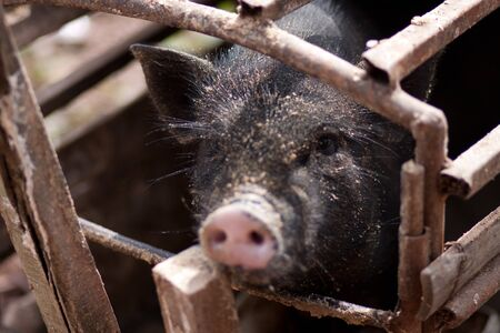Black pig in the Cage photo