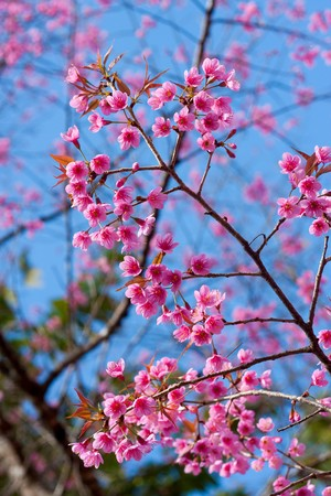 Sakura in north of Thailand Stock Photo - 7809536