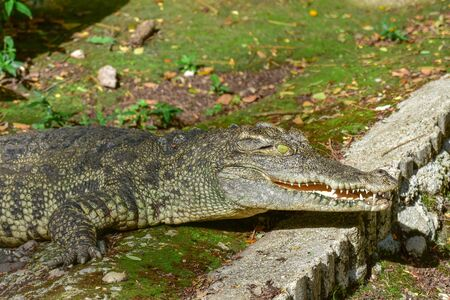 Large freshwater crocodiles are sunbathing on the floor. Banque d'images