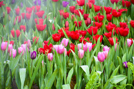 Colorful tulip groups Tulip flower red, pink, purple brighten up with sunlight. Soft focus, tulip close-up, tone Colorful tulip picture background