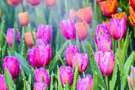 Colorful tulip groups Tulip flower red, pink, purple brighten up with sunlight. Soft focus, tulip close-up, tone Colorful tulip picture background Stok Fotoğraf