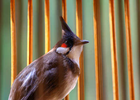 red whiskered bulbul bird Stock Photo