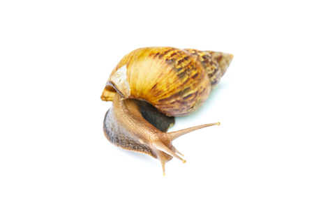Garden snail isolated on white background Stock Photo