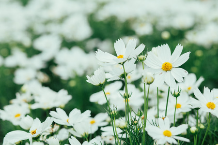 White cosmos flowers in the garden are sunlight in the morning stock photo white cosmos flowers in the garden are sunlight in the morning mightylinksfo