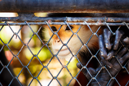 Red-shanked Douc Langur Trapped in a cage at a poor zoo.