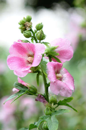 Pink flowers look fresh after the rain  photo