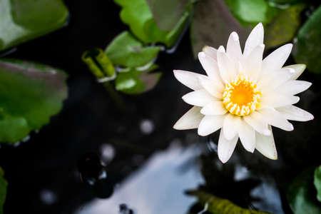 lilia: white lotus flower in tub