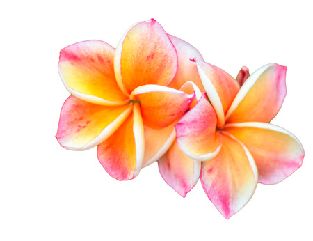 tweets: Red frangipani flowers on a white background tweets Asia.