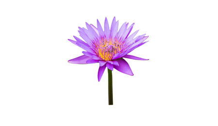 flew: Purple lilies and lotus bee flew Damdm. There is a white back ground