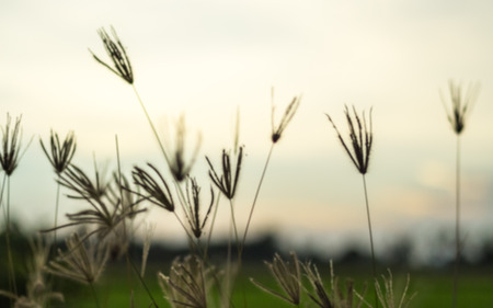 hazy: Flower of the field, evening hazy sky, grass, lonely, lonely guard blurry image.