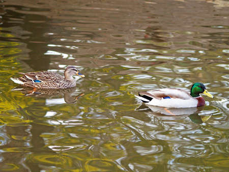 drakes: Pair of Anas platyrhynchos in the water