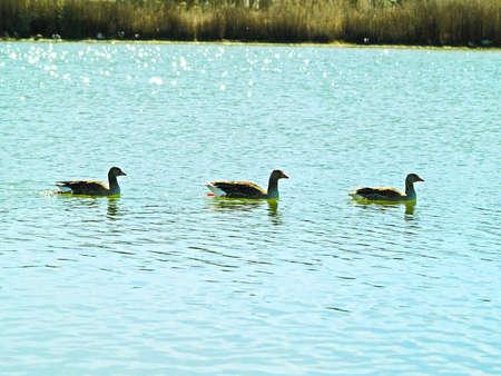 fidelidad: familia gansos en un lago en España Foto de archivo