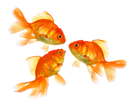 Gold fish Three Isolation on the white