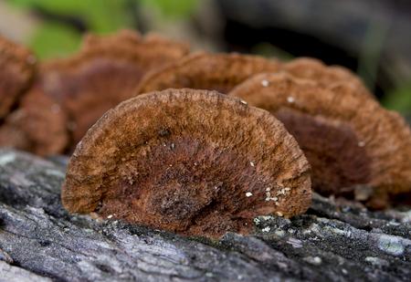 fungi: mushrooms on wood
