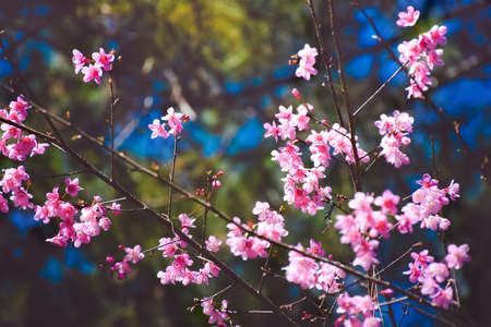 pink cherry blossom in blue sky.,close-up view,Blossoming tree brunch with white flowers at spring Stok Fotoğraf