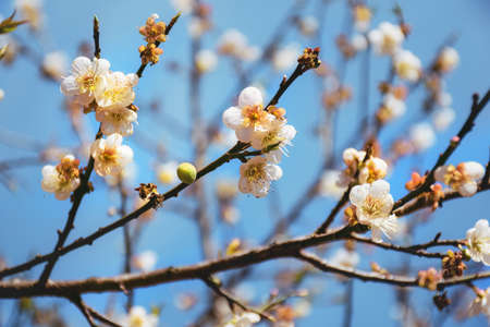 white cherry blossom in blue sky.,close-up view,Blossoming tree brunch with white flowers at spring Stok Fotoğraf