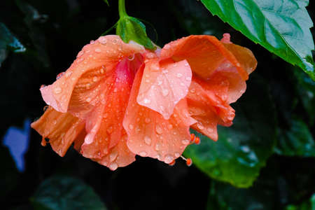 Orange hibiscus flowers and drop rain with leaf green background